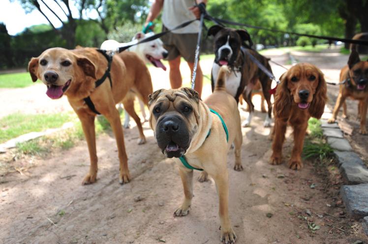 Выгул собак популярен в больших городах